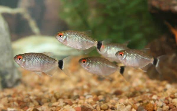 Аквариумная рыбка филомена обыкновенная
