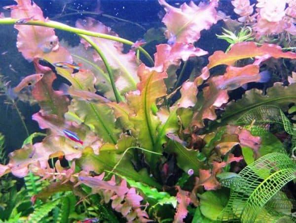 Апоногетон в аквариуме читайте статью
