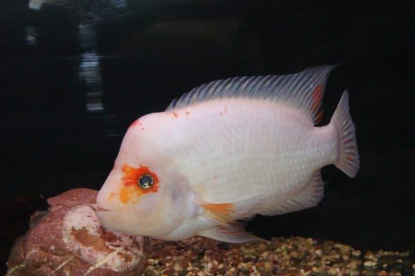 Цитроновая цихлазома - аквариумная рыбка