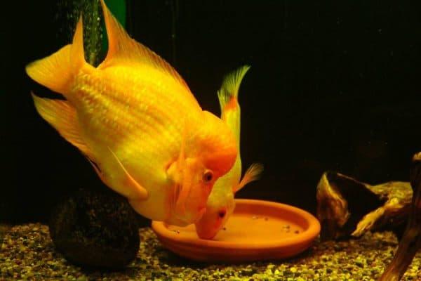 Цитроновая цихлазома - красивая аквариумная рыбка