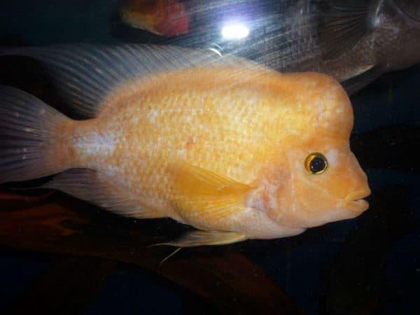 Цитроновая цихлазома - прекрасная аквариумная рыбка