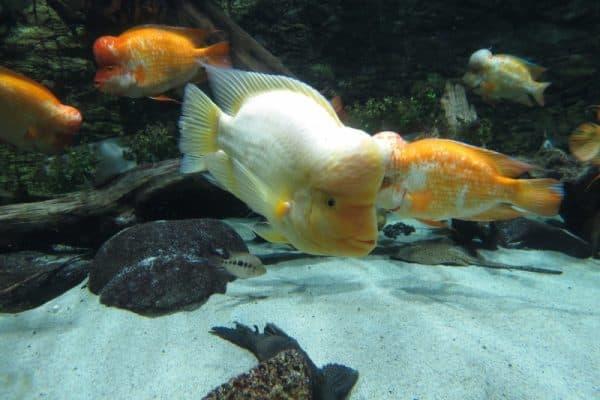 Цитроновая цихлазома - удивительная аквариумная рыбка