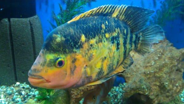 Цитроновая цихлазома в аквариуме