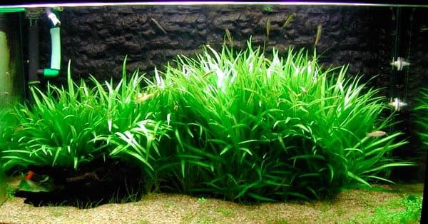 Эхинодорус нежный - прекрасное растение