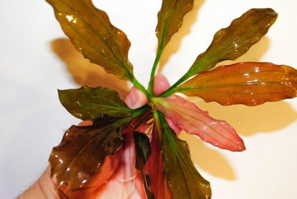 Эхинодорус розе