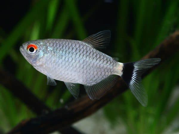 Филомена - прекрасная аквариумная рыбка