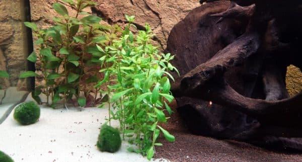 Гигрофила в аквариуме читайте статью