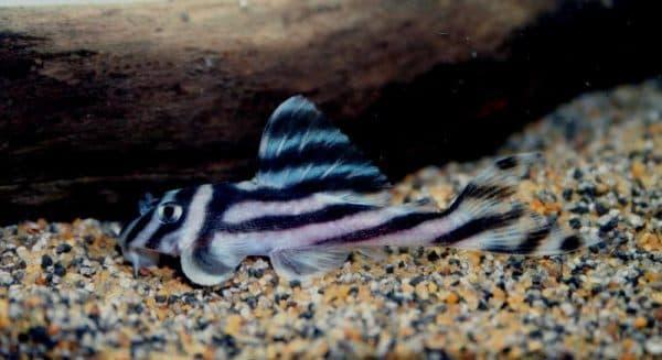 Гипанциструс зебра - сомик
