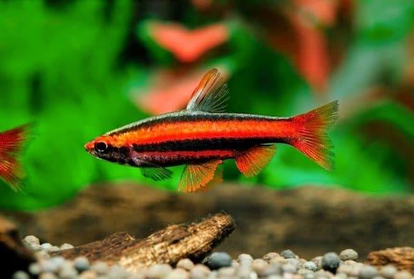 Харациновые аквариумные рыбки читайте статью