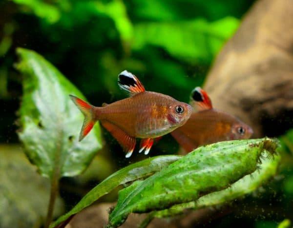 Харациновые аквариумные рыбки на фото