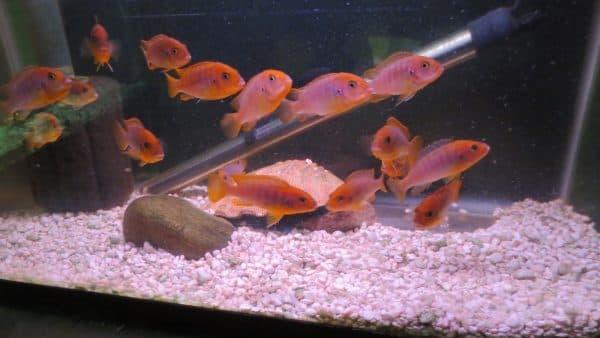 Йодотрофеус Шпренгера - аквариумная рыбка