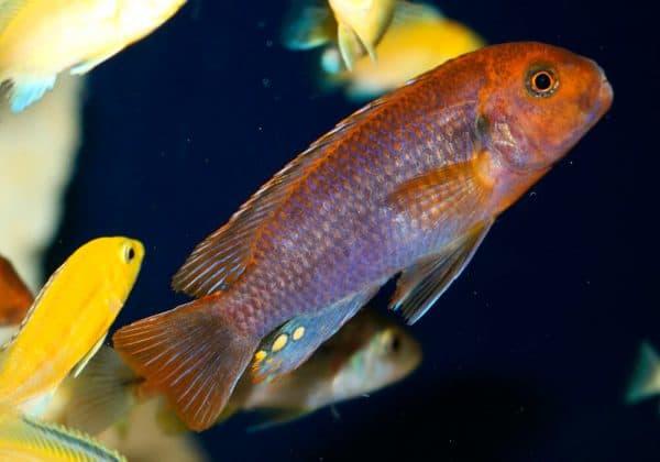 Йодотрофеус Шпренгера - красивая аквариумная рыбка