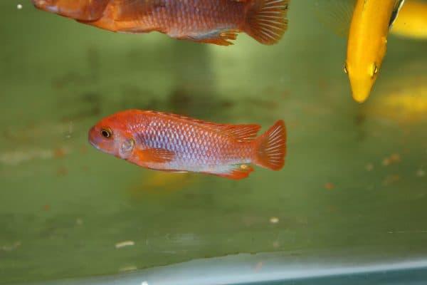 Йодотрофеус Шпренгера - красивая рыбка в аквариуме