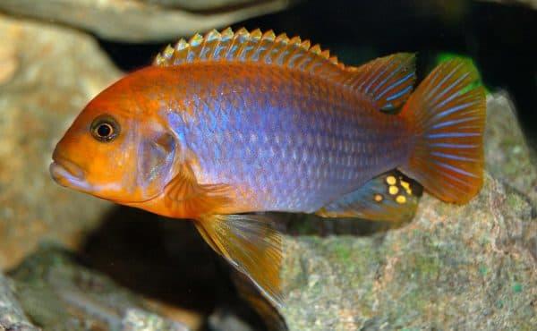 Йодотрофеус Шпренгера - прекрасная аквариумная рыбка