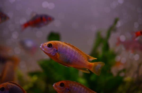 Йодотрофеус Шпренгера - прекрасная рыбка в аквариуме