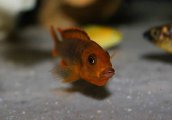 Йодотрофеус Шпренгера - рыбка в аквариуме