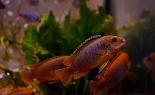Йодотрофеус Шпренгера - удивительная аквариумная рыбка