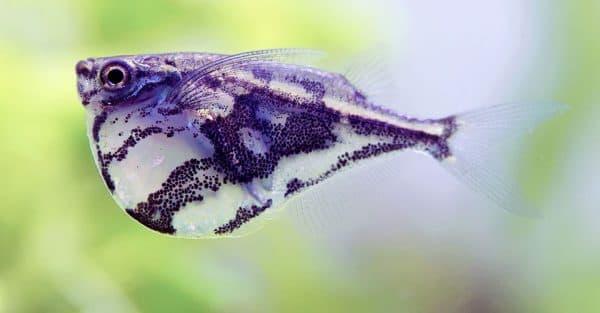 Карнегиелла мраморная - красивая аквариумная рыбка