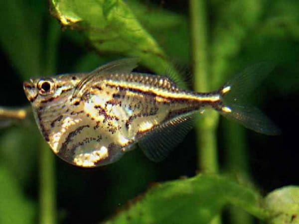Карнегиелла мраморная - красивая рыбка