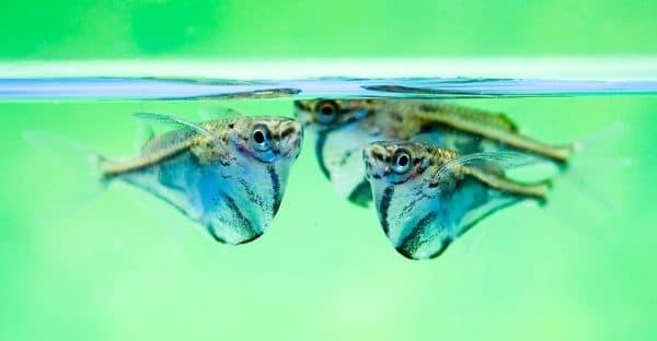 Карнегиелла мраморная - прекрасная аквариумная рыбка