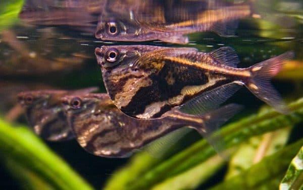 Карнегиелла мраморная - рыбка в аквариуме