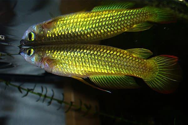 Киллифиш - красивая аквариумная рыбка