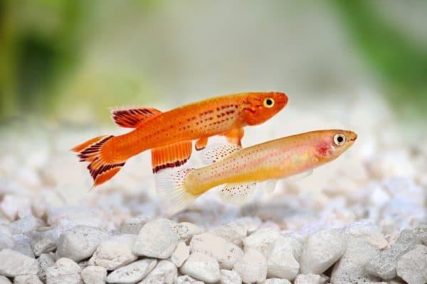 Киллифиш - необыкновенная рыбка в аквариуме