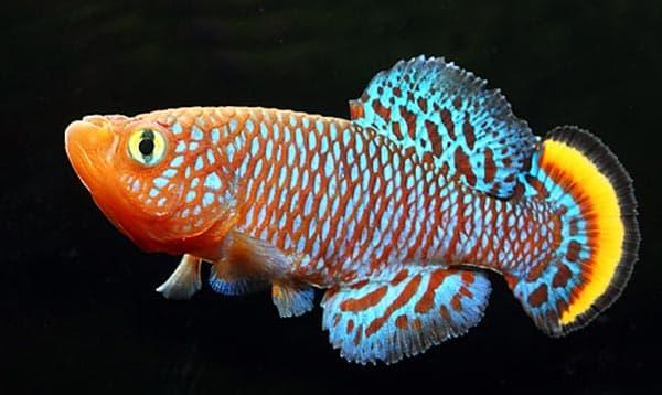 Киллифиш - прекрасная аквариумная рыбка
