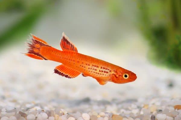 Киллифиш - прекрасная рыбка в аквариуме