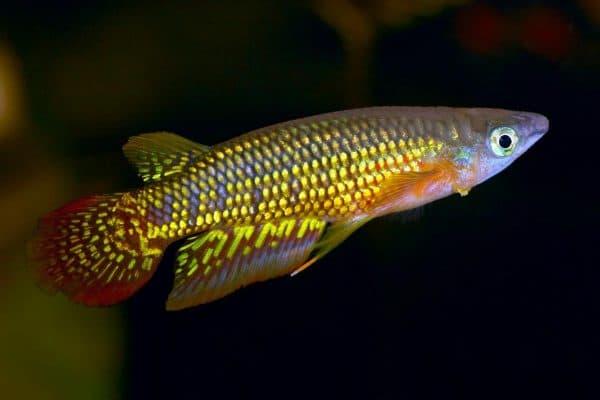 Киллифиш - удивительная рыбка