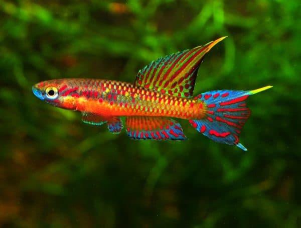 Киллифиш - удивительная рыбка в аквариуме