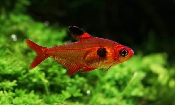 Красный орнатус