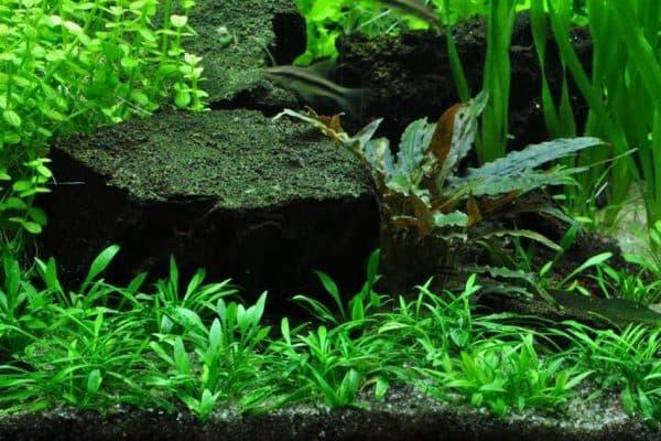 Криптокорина парва в аквариуме