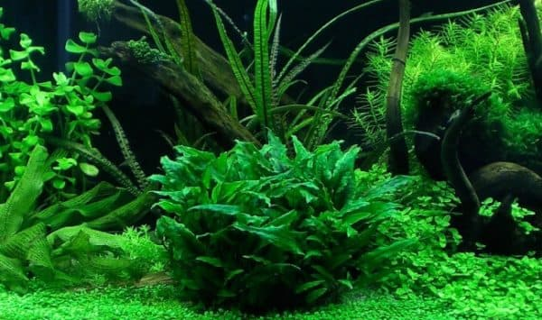 Криптокорина в аквариуме читайте статью