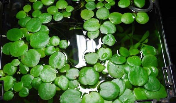 Лимнобиум - прекрасное растение