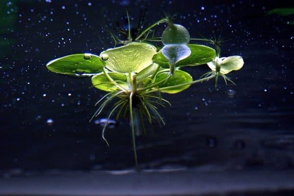 Лимнобиум - прекрасное растение в аквариуме
