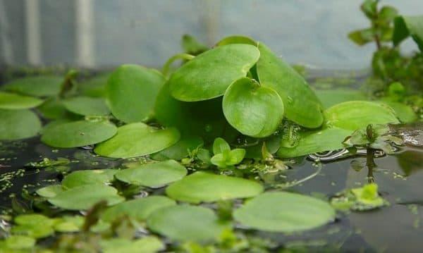 Лимнобиум - удивительное растение в аквариуме