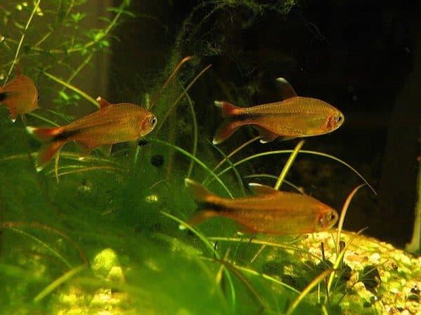 Медная тетра - аквариумная рыбка