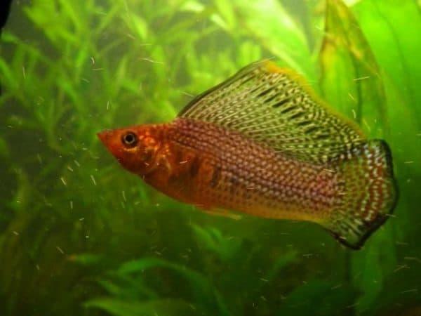 Моллинезия велифера - красивая рыбка в аквариуме