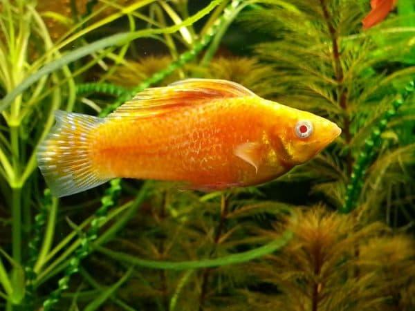 Моллинезия велифера - удивительная аквариумная рыбка