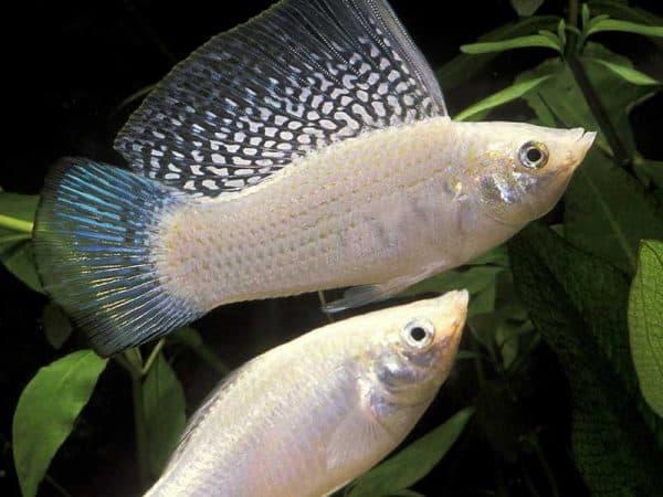 Моллинезия велифера - удивительная рыбка в аквариуме