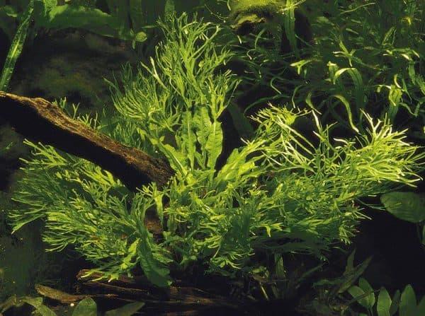 Папоротник таиландский - красивое растение в аквариуме