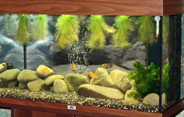 Пистия - аквариумное растение