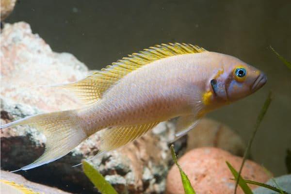 Принцесса Бурунди - аквариумная рыбка