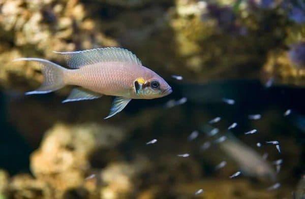 Принцесса Бурунди - чудесная аквариумная рыбка