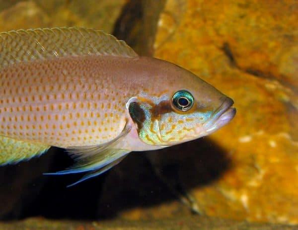 Принцесса Бурунди - чудесная рыбка