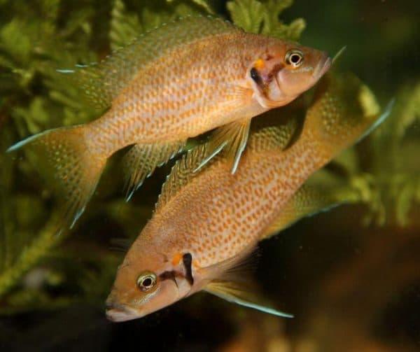 Принцесса Бурунди - красивая рыбка