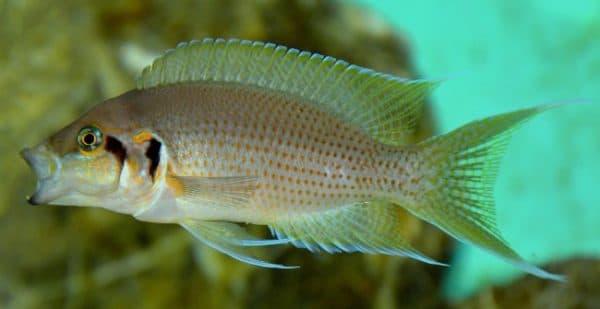 Принцесса Бурунди - прекрасная рыбка