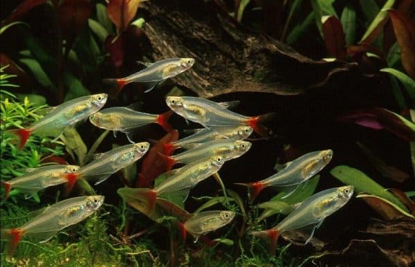 Прозрачные рыбки для аквариума читайте статью