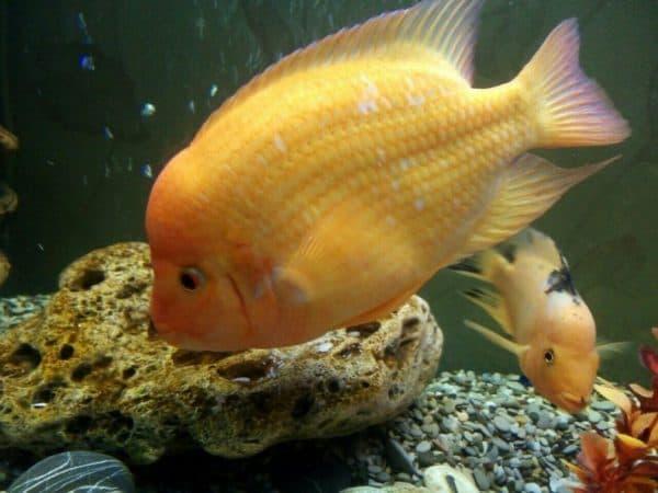 Содержание в аквариуме цитроновой цихлазомы